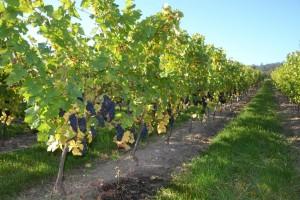 Vigne de Lachaux